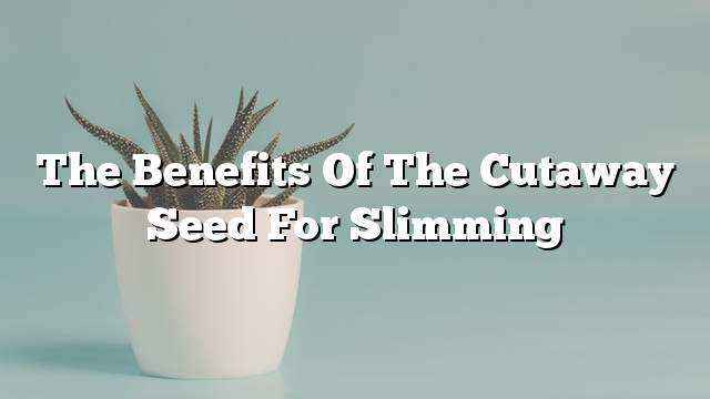 The benefits of the cutaway seed for slimming